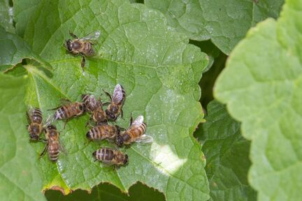 Bees-IMG 8465